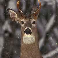 White tail deer in the snow. North Fork of the Flathead River, Montana.