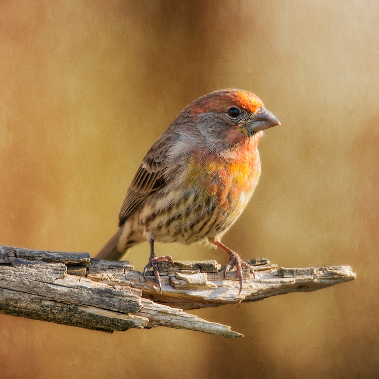 A Juvenile Yellow Variant House Finch