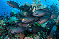 Surgeonfishes swim close to a reef slope<br /> <br /> <br /> Shot in Indonesia