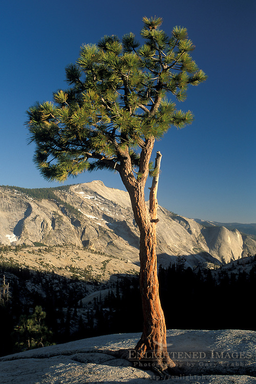 Jeffrey Pine, and Clouds Rest from Olmsted Point, High Sierra, Yosemite National Park, California