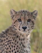 Young cheetah looks toward observer, Phinda Game Reserve, South Africa, © 2019 David A. Ponton