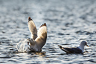 Kittywake ( Larus Tridactylus ) <br /> Cleaning the shores of Svalbards trip<br /> Linking Tourism &amp; Conservation (LT&amp;C)<br /> Day02 29/08/2015<br /> Svalbard Islands Aug. 27 -Sept.6th  2015 <br /> Photo G.Scala/Deepbluemedia