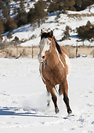 Tri-colored dun Paint horse running in fresh snow starting a turn, © 2009 David A. Ponton, [Prints to 8x12, 16x24, 24x36 or 40x60 in. with no cropping]