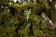 Moss and ferns make up the lush forest in the highlands of Santa Cruz Island, Galapagos Archipelago - Ecuador.