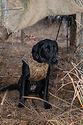 "Two year old black lab ""Ellie"" watching for ducks while hunting near Shamrock, Oklahoma"