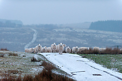 © Licensed to London News Pictures. 22/01/2017. Builth Wells, Powys, Wales, UK. Sheep are seen waiting for the farmer to bring feed on the Mynydd Epynt moorland after a light snow fall in the early hours this morning in Powys, Wales, UK. Photo credit: Graham M. Lawrence/LNP