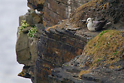 Fulmar - Fulmaris Glacialis - Unable to take off from normal, flat ground, Fulmars spend their time resting on cliffs, where they can get some help from gravity.
