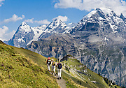 "Three women hike Wasenegg Ridge. Left to right are Eiger (the Ogre, 13,026 feet), Mönch (the Monk), and Jungfrau (the Virgin, 13,600 feet) in the Berner Oberland, Switzerland, the Alps, Europe. The Bernese Highlands are the upper part of Bern Canton. UNESCO lists ""Swiss Alps Jungfrau-Aletsch"" as a World Heritage Area (2001, 2007). Published in Wilderness Travel 2017 Catalog of Adventures."