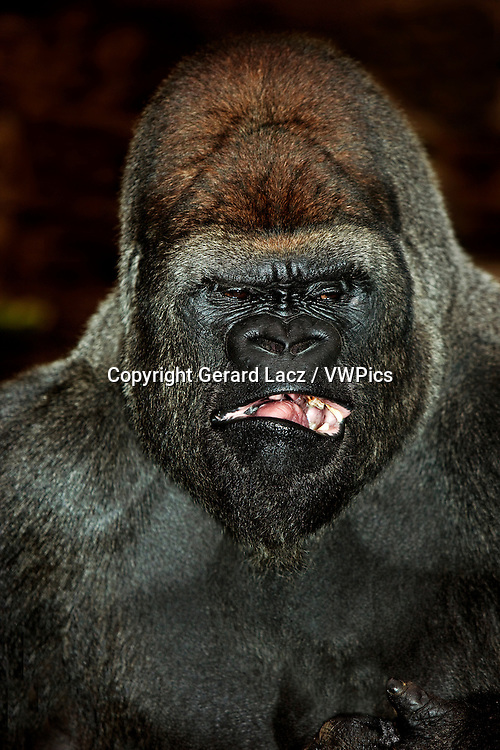 LOWLAND GORILLA gorilla gorilla graueri, HEAD OF MALE