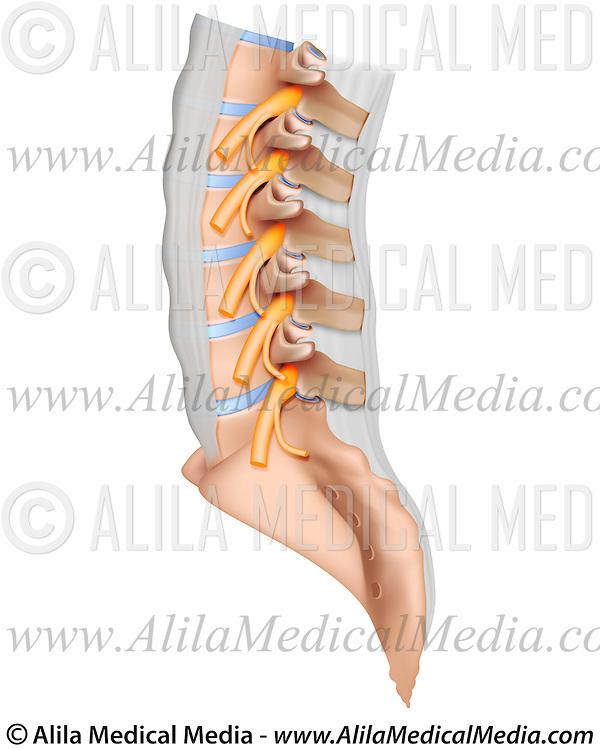 Lumbar Spine Anatomy Alila Medical Images