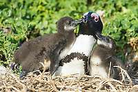 African Penguin chicks soliciting from their parent, Bird Island, Algoa Bay, Eastern Cape, South Africa