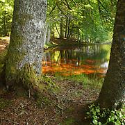 Wood scenery with reflectons on water, PNR du Livradois Forez; Etang de la Fargette, St. Germain L'Herm, Auvergne, France