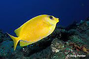 coral rabbitfish or blue-spotted spinefoot, Siganus corallinus, Liberty Wreck, Tulamben Bay, Bali, Indonesia