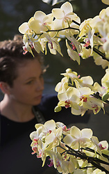 © Licensed to London News Pictures. 07/02/2012. London, England. Pictured: Ashleigh Davis, horticulturalist. The annual Orchid Festival opens on Saturday, 9 February in the Princess of Wales Conservatory at Kew Gardens, London. Horticulturalists set up floral displays. The festival runs to 3 March 2013. Photo credit: Bettina Strenske/LNP