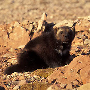 Wolverine, (Gulo gulo) Adult in Rocky mountains. Montana.  Captive Animal.
