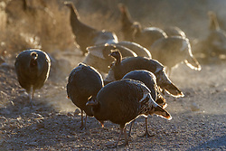 Backlit wild turkeys (Meleagris gallopavo) on road , Ladder Ranch, west of Truth or Consequences, New Mexico, USA.