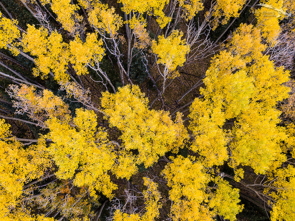 Low-altitude, straight-down aerial view of fall aspen trees in Aspen, Colorado. Aerial camera drones excel at this perspective! DJI Inspire 1 Pro (preproduction) and Zenmuse X5 camera.