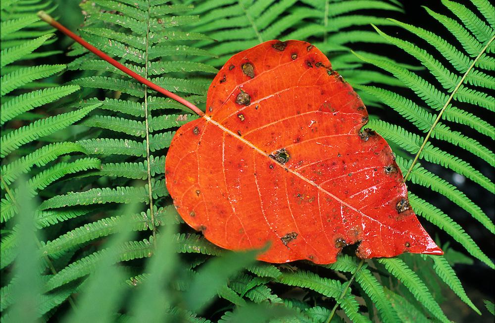 Native Bleeding Heart leaf, Homolanthus nutans, Enoggera Creek