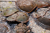 New York, Long Island - Horseshoe Crabs swarming to mate.