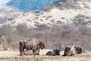 European Bison (Bison bonasus) herd grazing in dune landscape