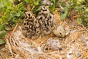 Newly hatched western gull chicks (Larus occidentalis), Anacapa Island, Channel Islands National Park, California