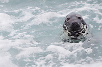 Grey seal (Halichoerus grypus) Saltee Islands Ireland