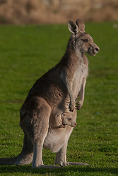 Eastern Grey Kangaroo (Macropus giganteus) with Joey in Pouch, Eltham College Environmental Reserve, Research, Victoria, Australia, US
