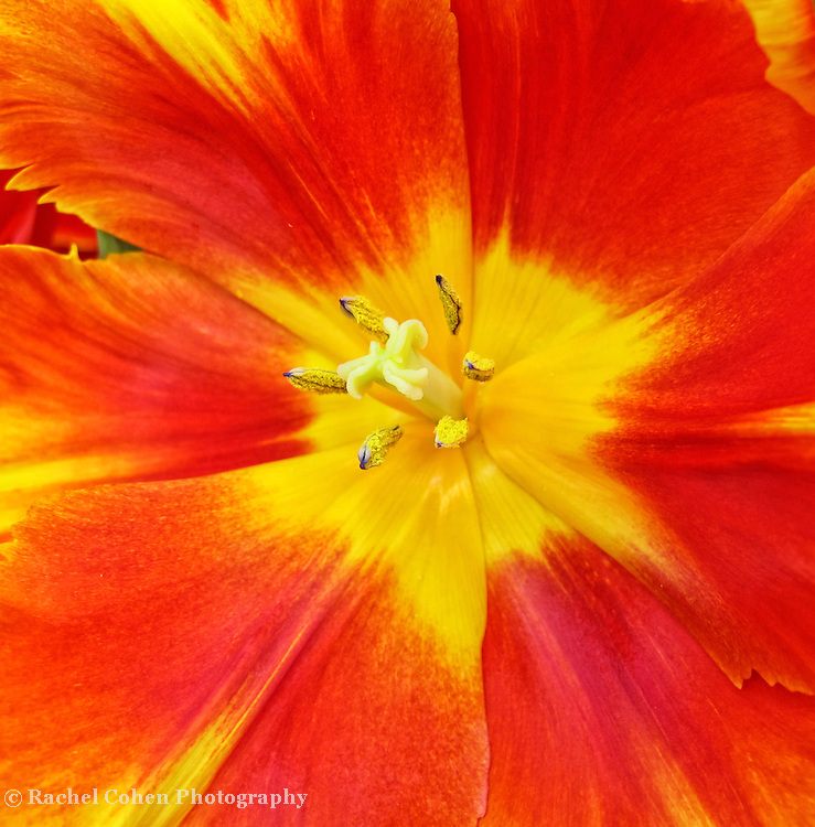 &quot;Jubilation&quot;<br /> <br /> A colorful spring tulip. Calling out the word, Happy!!<br /> <br /> Flowers by Rachel Cohen