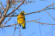 Evening grosbeak male in winter.