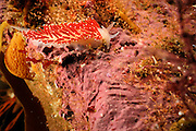 Nudibranch (Flabellina verrucosa) on red algae, Atlantic Ocean, Strømsholmen, North West Norway | Atlantischer Ozean, Strømsholmen, Nordwestküste von Norwegen