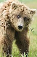 Alaskan Brown Bear, Lake Clark National Park, Alaska