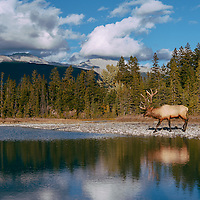 bull elk near stream with reflection