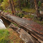 Merced River Fallen Tree - Little Yosemite Valley - Yosemite