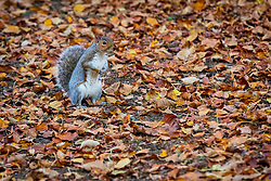 © Licensed to London News Pictures. 05/10/2018. London, UK.  A squirrel collects, eats and burries nuts amongst autumn leaves in Wapping Rose Gardens, east London this evening following a day of warm weather in the capital.  Photo credit: Vickie Flores/LNP