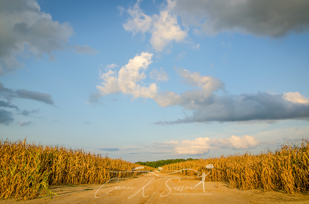 A dirt road separates corn fields on Money Road in Greenwood, Miss. (Photo by Carmen K. Sisson)