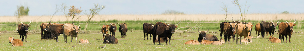Heck cattle (Bos taurus) group on grass plain. Oostvaardersplassen, Netherlands. Mission: Oostervaardersplassen, Netherlands, June 2009.