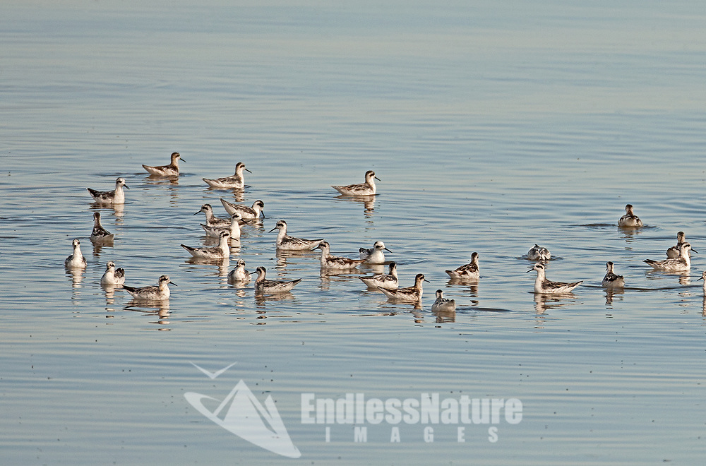 A group of Wilsons Phalarope swims in the Great Salt Lake in northern Utah feeding on the abundant amount of brine flies that hatch in August.