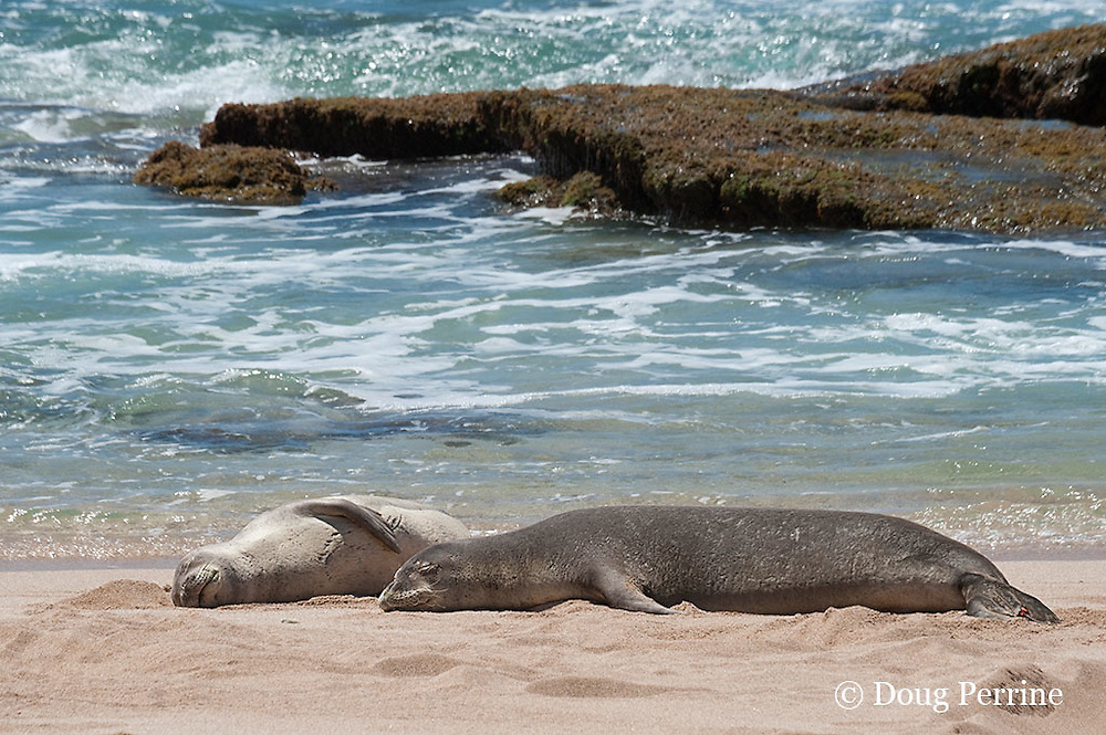 Hawaiian monk seals, Monachus schauinslandi; note shark bite scars on chest of juvenile seal on left; Critically Endangered endemic species, west end of Molokai, Hawaii ( Central Pacific Ocean )