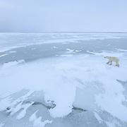 Polar bear (Ursus maritimus) on the ice at Cape Churchill, Manitoba, Canada.