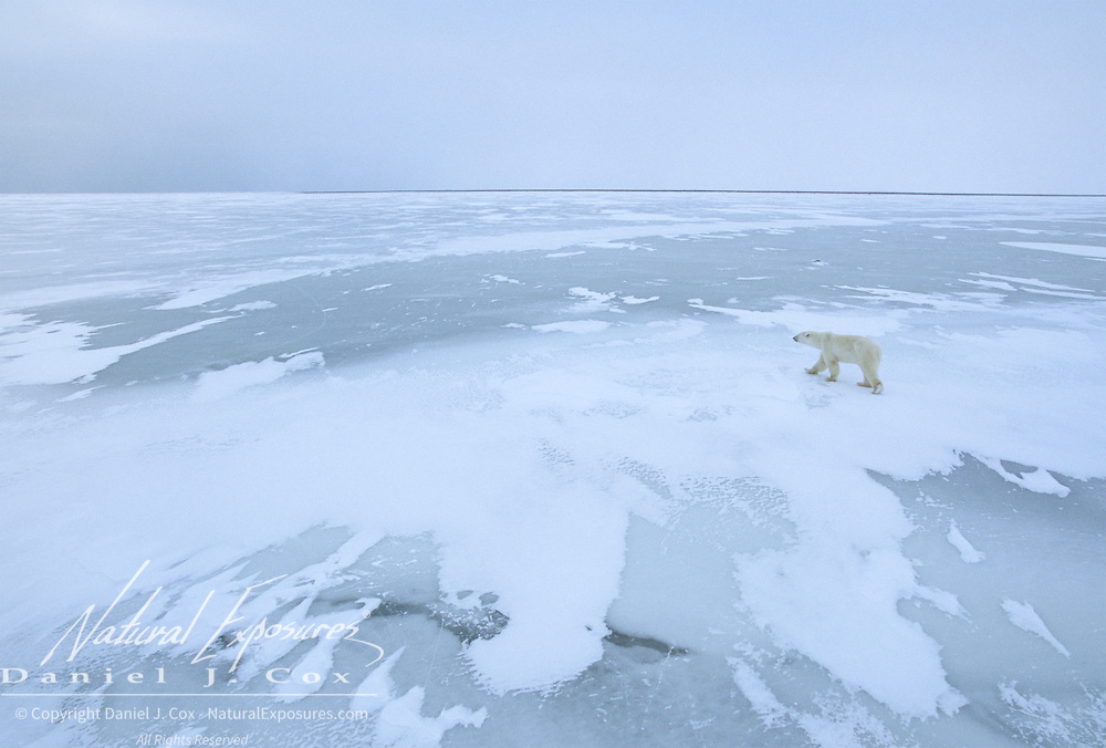 Polar bear (Ursus maritimus) on the ice at Cape Churchill, Manitoba, Canada.