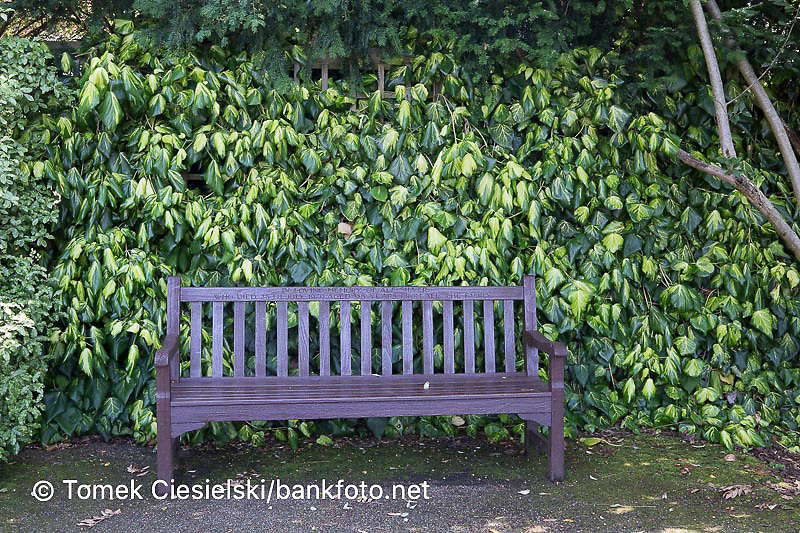 Wooden bench in front of Hedera colchica background