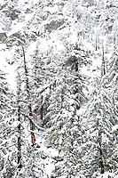 Snow-Covered Trees on Mount Baldy, Angeles National Forest, California