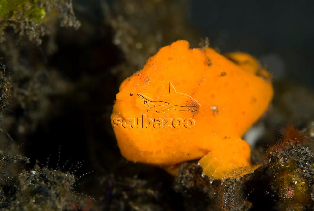 Painted Frogfish, Antennarius pictus, KBR, Lembeh Strait, Sulawesi, Indonesia.