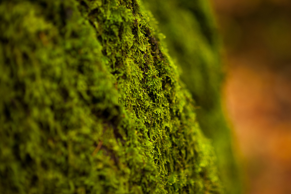 2017 NOVEMBER 20 - Detail of wet moss on tree at Lincoln Park in West Seattle, WA, USA. By Richard Walker