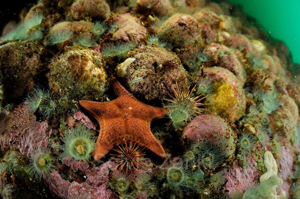 Slipper snail (Crepidula dilatata), seastar (Diplodontias sp)  Comau Fjord, Patagonia, Chile   Hardsubstrad mit Seestern (Diplodontias sp) Annemonen und Pantoffelschnecke (Crepidula dilatata)
