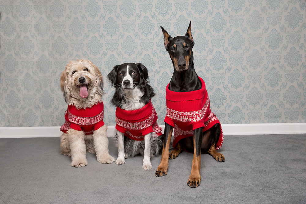 Three dogs in Ugly Christmas Sweaters