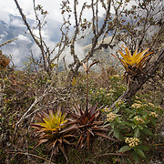 Bromeliads on the trails of Wayqecha Cloud Forest Biological Station the Eastern slopes of the Peruvian Andes. Cloud forest at 2950 meters elevation. The reserve is managed by the Amazon Conservation Association and the Asociación para la Conservación de la Cuenca Amazónica.