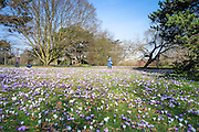 © Licensed to London News Pictures. 11/03/2015. Kew, UK. A woman photographs the display. People enjoy the cross displays at Kew Garden's today 11th March 2015. The display features the variety Crocus tommasinianus. The Uk has enjoyed warm sunny weather this week.  Photo credit : Stephen Simpson/LNP