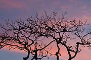 Tree silhouette at dusk . Pacheca Island, Las Perlas Archipelago, Panama, Central America.