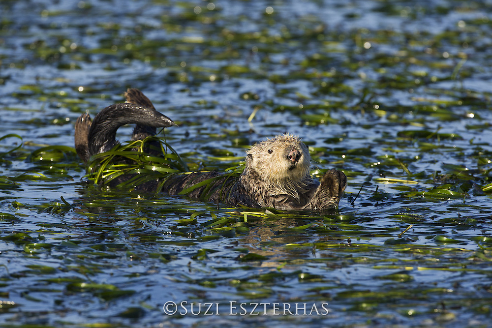Southern sea otter<br /> Enhydra lutris<br /> Wrapped in eeelgrass and trying to keep paws dry for thermoregulation (to stay warm)<br /> Monterey Bay, CA